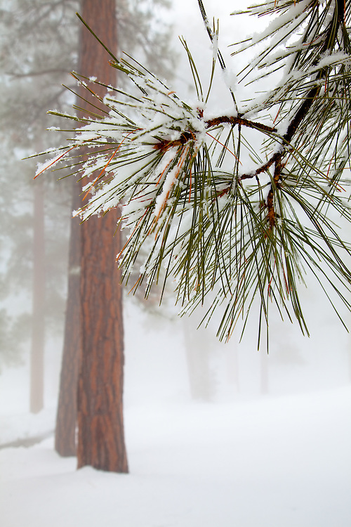 The needles of a Ponderosa Pines in snow. Grand Canyon National Park, Arizona.