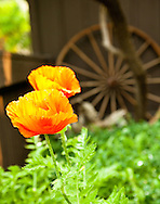 Poppies Landscape, poppies growing, poppies and old wooden wheel