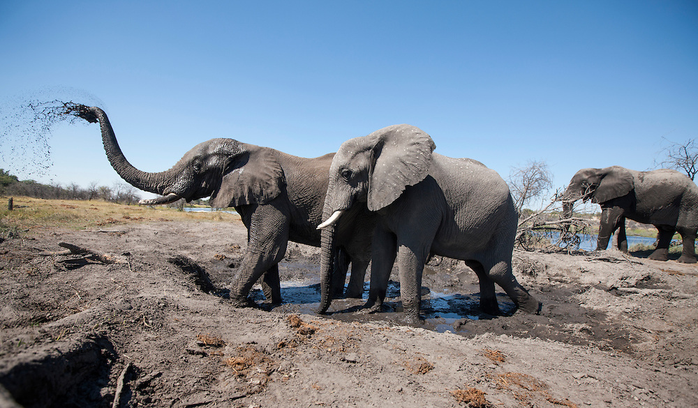 Africa, Botswana, Makgadikgadi Pans National Park, Remote camera view of Bull Elephants (Loxodonta africana) throwing mud to cool off at mud hole along Botete River