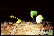 Leaf cutter ants-'sauvas'- carrying bits of leaves back to nest in the Amazon rain forest. Brazil