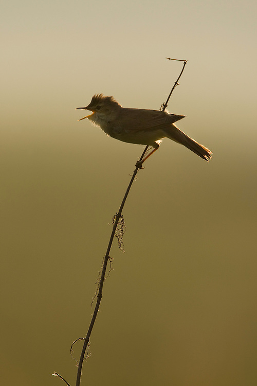 Marsh warbler (Acrocephalus palustris) singing in early morning light. Mission: Lithuania. June 2009.