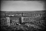 Sheep graze near a stone wall on a farm located near Inch Beach, Dingle Bay Peninsula.