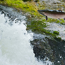 A Coho Salmon is migrating up a stream on Princess Royal Island