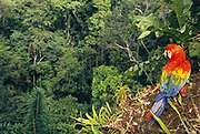 Scarlet Macaw in Canopy<br />Ara macao macao<br />Manu National Park,  Amazon Rain Forest.  PERU<br />South America<br />Range: s Mexico to Bolivia