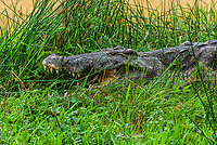Nile crocodiles in the Nile River, Murchison Falls National Park, Uganda.