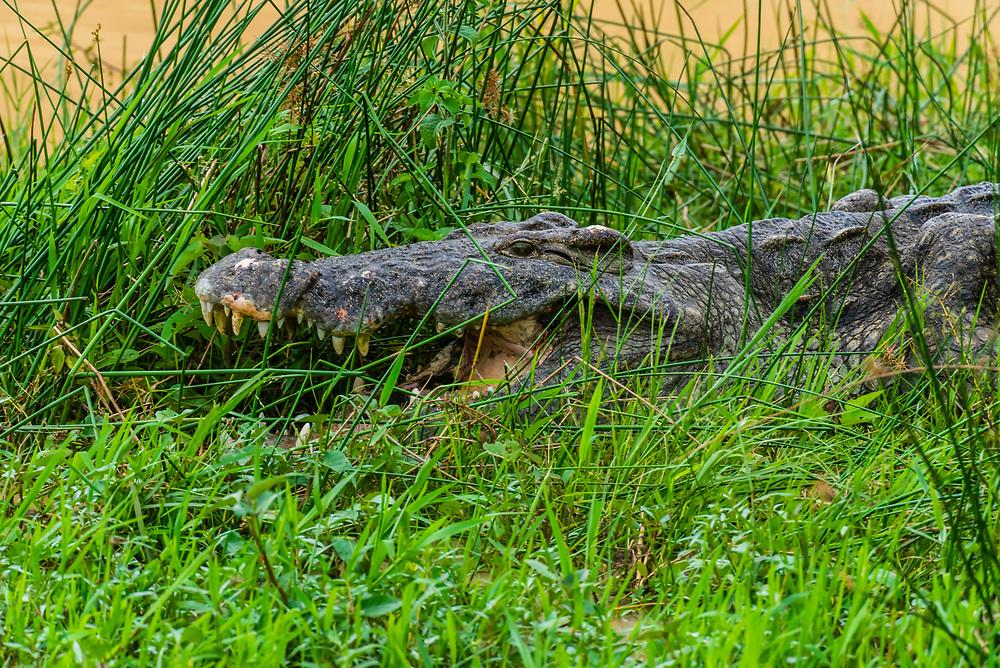 Nile crocodiles in the Nile River, Murchison Falls National Park, Uganda.