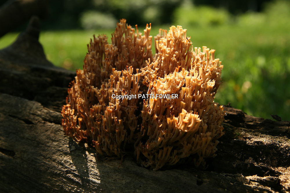Coral fungus on dead tree trunk
