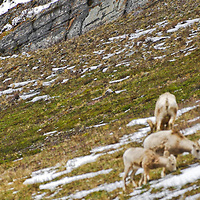 grizzly bear stalking bighorn sheep