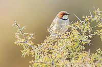 Rufous eared warbler