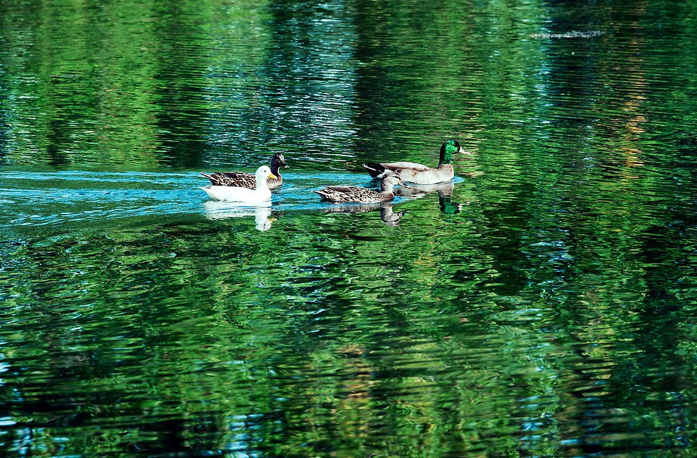 Ducks swimming on a pond with reflections.