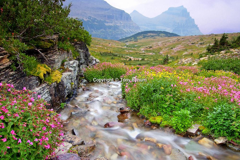 Monkey Flowers and Alpine Stream, glacier national park