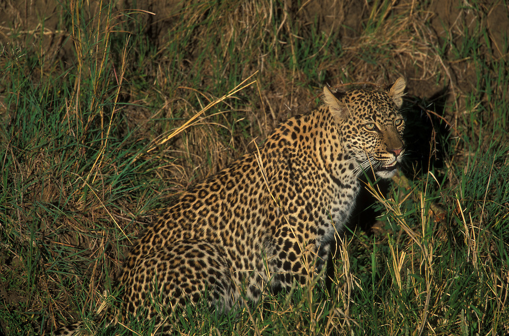 Africa, Kenya, Masai Mara Game Reserve, Adolescent Male Leopard (Panthera pardus) sitting along Telek River