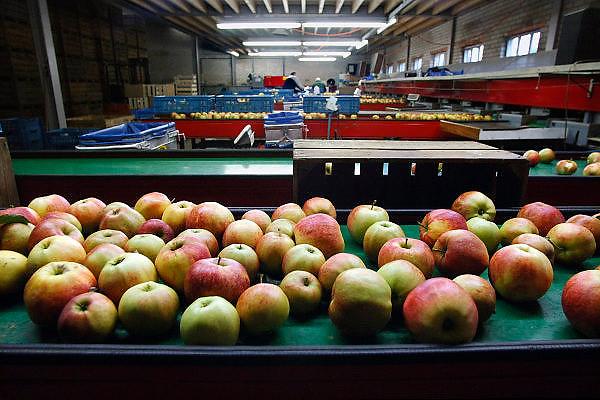 Nederland, Zetten, 10-11--2005Appels van het soort Elstar. In een schuur bij de tuinbouwer, boomgaard wordt het fruit verpakt.Foto: Flip Franssen/Hollandse Hoogte