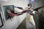 Discarding carcass of yellow fin tuna at Cyprea Marine Foods EU-standard factory at Himmafushi, Republic of Maldives.