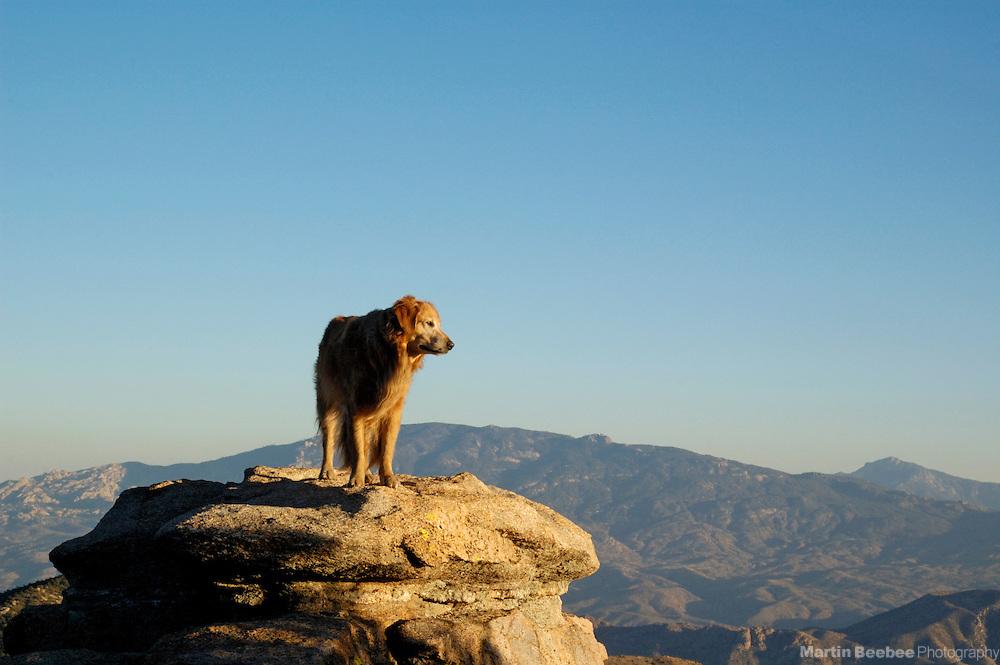 Golden retriever standing on rocks at sunset, Coronado National Forest, Arizona