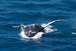 A humpback whale breaches backwards on the Kimberley coast.  Western Australia has the world's largest population of Humpback whales, estimated at approximately 22,000 individuals.
