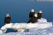 Bald Eagle, Haliaeetus leucocephalus, on icebergs, Kenai Peninsula, Homer Spit, Homer, Alaska. Digital original, #2006_0718 ©Robin Brandt