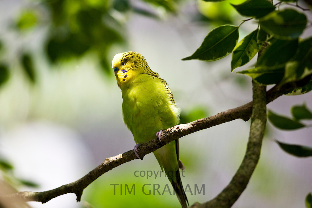 Budgerigar perched on branch, Queensland, Australia