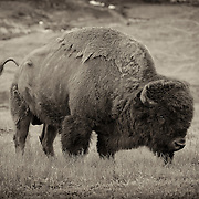 Grazing Bison - Yellowstone National Park - Vignette Sepia Black & White