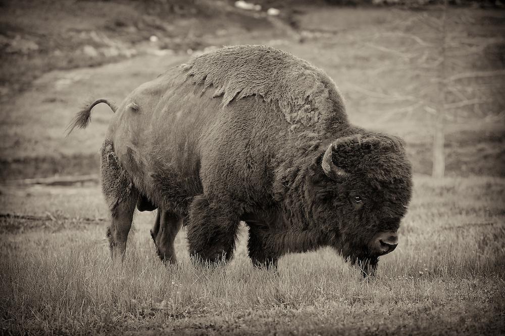 Grazing Bison - Yellowstone National Park - Vignette Sepia Black & White