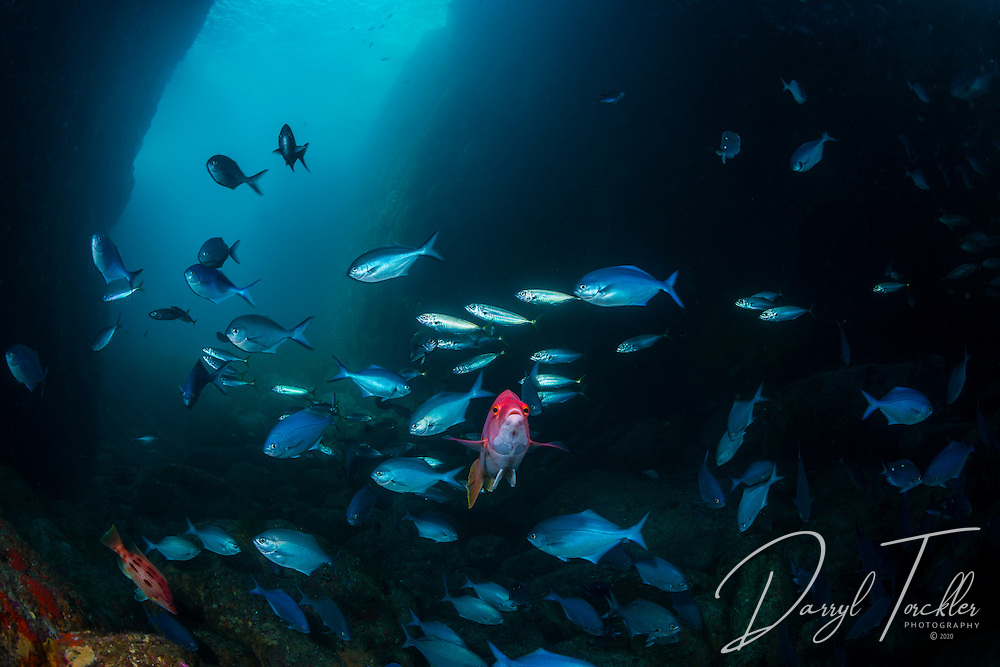 A female Pig fish looks at the photographer, Arid Island.