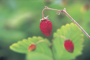 Strawberries (Tom Reese / The Seattle Times)