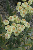 Yellow flowers helichrysum lamarkii