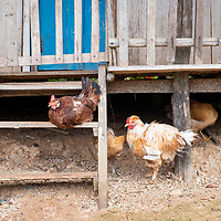 Chickens roots underneath a wooden home in the small community of San Francisco de Loreto on the Marañon River in the Peruvian Amazon.