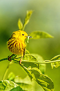 Yellow Warbler - Dendroica petechia sitting on a branch with a caterpillar in its beak