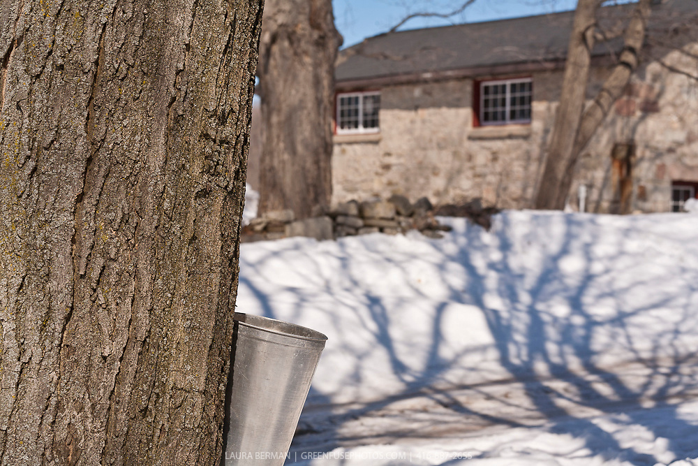 Maple sap dripping into a bucket in front of a stone barn.