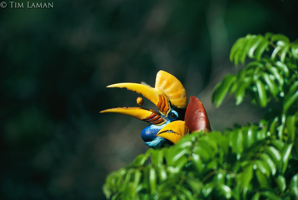 A female red-knobbed, or Sulawesi wrinkled, hornbill eats a fig.