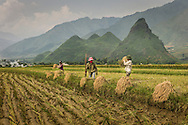 Farmers harvest rice in a field between Nghia Lo and Mu Cang Chai, Yen Bai Province, Northern Vietnam, Southeast Asia