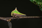 Thorn Mimic Treehopper (Umbonia sp.)<br /> Mapari<br /> Rupununi<br /> GUYANA<br /> South America
