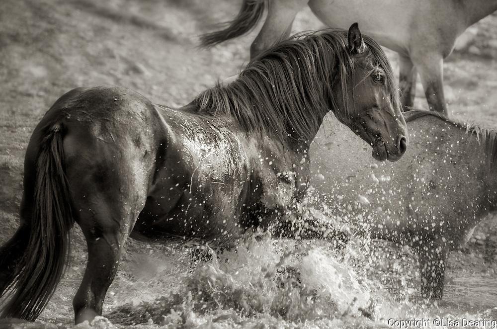 Black Stallion from Pryor Mountains, Montana