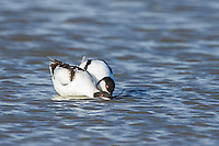 Pied Avocet coutship and mating ritual, Overberg, Western Cape, South Africa
