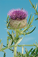 WOOLLY THISTLE Cirsium eriophorum (Asteraceae) Height to 1.5m. Upright biennial of calcareous grassland. Stems are furrowed, cottony and unwinged. FLOWERS are borne in heads, 6-7cm across, comprising reddish purple florets topping a ball coated with cottony bracts; heads are solitary (Jul-Sep). FRUITS have feathery pappus hairs. LEAVES are pinnate, spiny and cottony below. STATUS-Local, mainly in S.