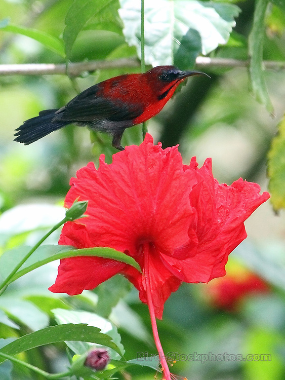 Crimson Sunbird, Aethopyga siparaja, Malaysia, by David Hoddinott