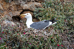 Western Gull (Larus occidentalis) and nest, Anacapa Island, Channel Islands National Park, California, United States of America