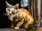 13 AUGUST 2016 - BANGKOK, THAILAND: A feral cat in the window of a home in the Pom Mahakan slum. Residents of the slum have been told they must leave the fort and that their community will be torn down. The community is known for fireworks, fighting cocks and bird cages. Mahakan Fort was built in 1783 during the reign of Siamese King Rama I. It was one of 14 fortresses designed to protect Bangkok from foreign invaders. Only of two are remaining, the others have been torn down. A community developed in the fort when people started building houses and moving into it during the reign of King Rama V (1868-1910). The land was expropriated by Bangkok city government in 1992, but the people living in the fort refused to move. In 2004 courts ruled against the residents and said the city could take the land. Eviction notices have been posted in the community but most residents have refused to move. Residents think Bangkok city officials will start evictions around August 15, but there has not been any official word from the city.      PHOTO BY JACK KURTZ