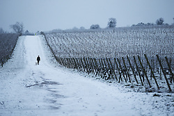 © Licensed to London News Pictures. 17/01/2016. Dorking, UK. Snow covers the Denbies Wine Estate near Dorking. Snow has fallen in the South East for the first time this winter. Photo credit: Peter Macdiarmid/LNP