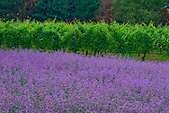 Bedell Cellars winery, Cutchogue, New York, Lavender, North Fork, Long Island