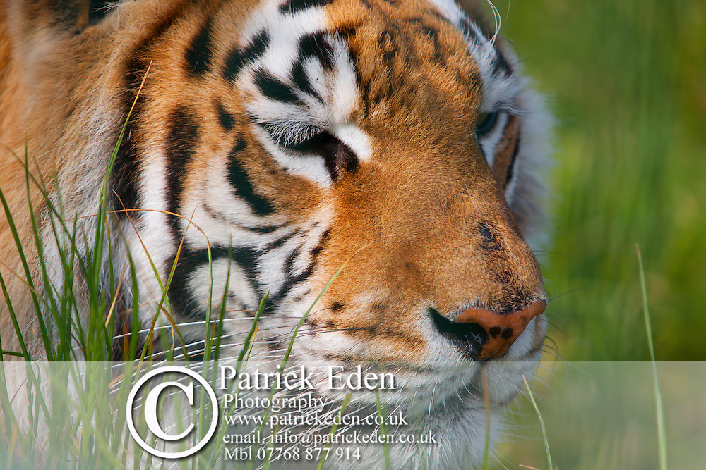 Animal Mammel Bengal Tiger Sandown Zoo Isle of Wight England UK Photographs of the Isle of Wight by photographer Patrick Eden photography photograph canvas canvases