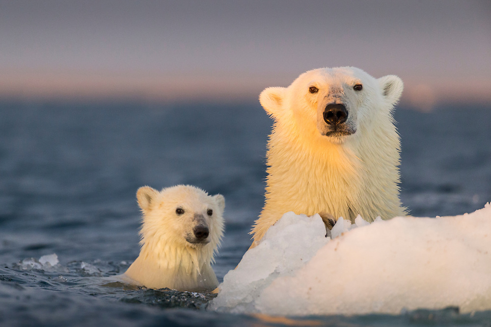 Canada, Nunavut Territory, Repulse Bay, Polar Bear and young cub (Ursus maritimus) clinging to iceberg near Harbour Islands at sunset