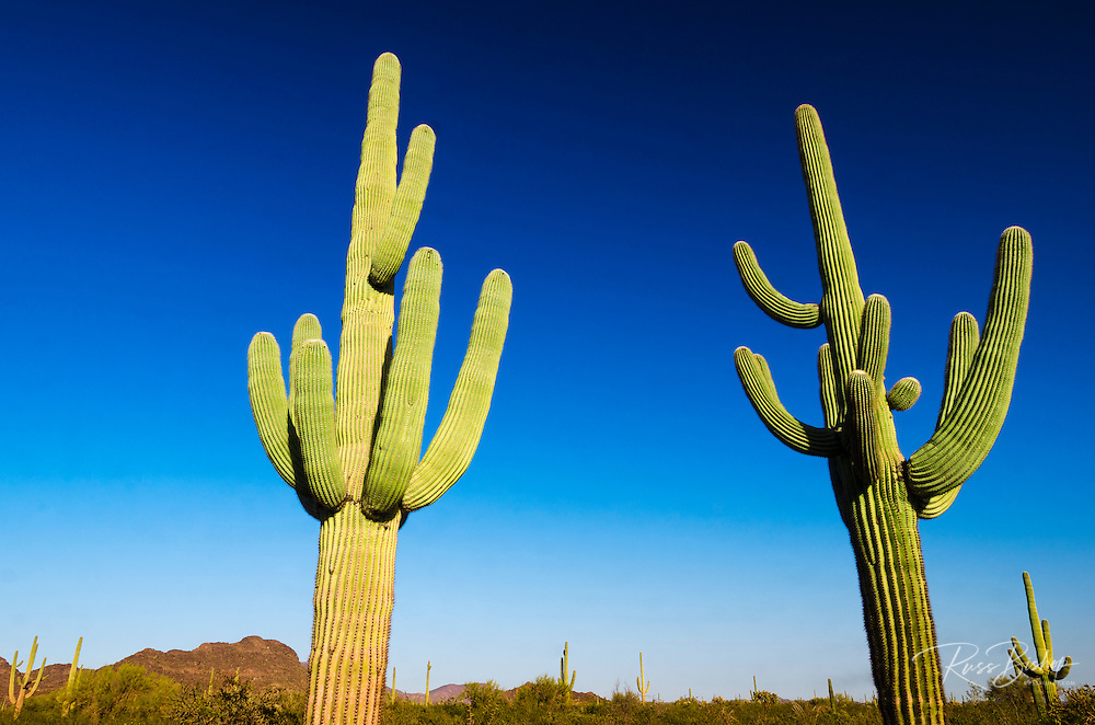 Saguaro cactus, Organ Pipe Cactus National Monument, Arizona USA