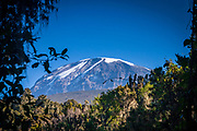 Kibo peak on top of Kilimanjaro seen through some of the highest reaches of the surrounding forests. Nearly on the equator, the summit is about 4,900 metres (16,100 ft) from its base, and 5,895 metres (19,341 ft) above sea level