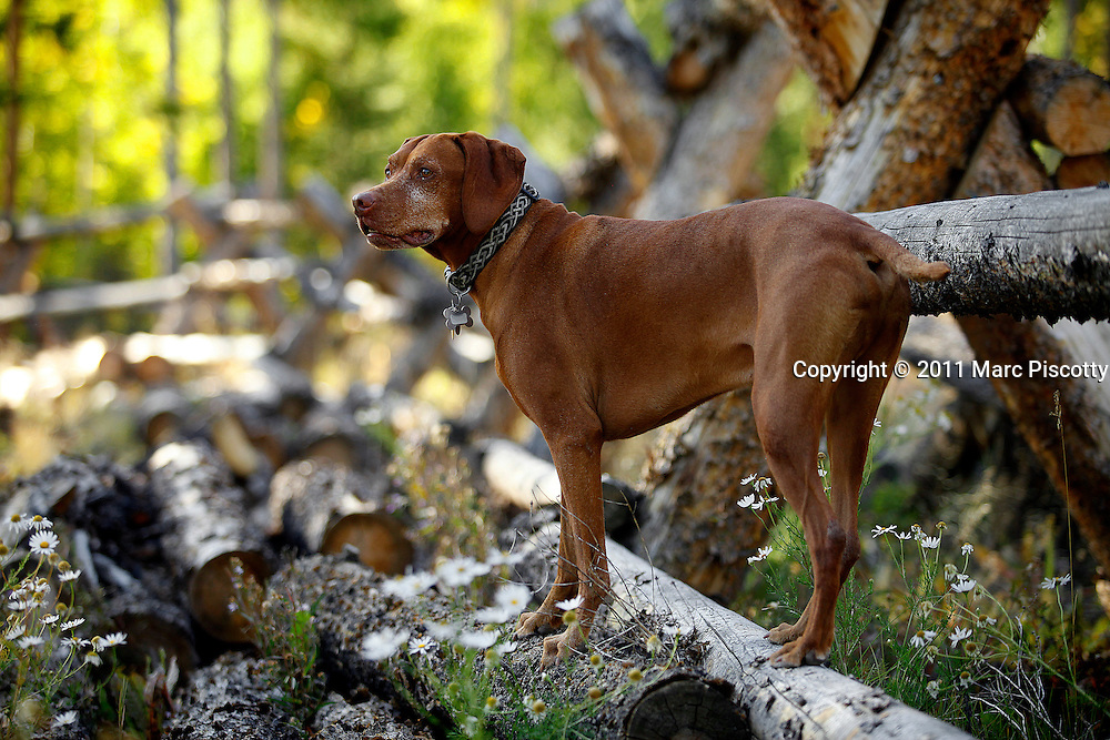 SHOT 9/23/11 5:14:22 PM - Tanner, a seven year-old male Vizsla keeps an eye on an animal while camping near Granby, Co. The Town of Granby is a Statutory Town that is the most populous town in Grand County, Colorado, United States. Granby is situated along U.S. Highway 40 in Middle Park about 85 miles (136.8 km) west of Denver, Colorado, southwest of Rocky Mountain National Park. (Photo by Marc Piscotty /  © 2011)