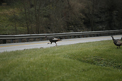 Turkeys in a paddock off Leestown Road, Saturday, Dec. 06, 2014 at Fayette County in Lexington.