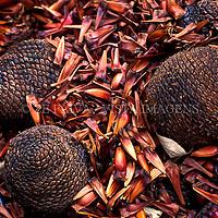 """Pinhas e pinhoes, sementes de Araucaria """"Araucaria angustifolia"""". Parque da Ferradura, Canela, Rio Grande do Sul, Brasil,  foto de Ze Paiva/Vista Imagens"""
