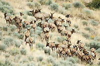 The middle of September and this Bull Elk move his large herd of cow elk up a hillside.