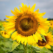 Sunflowers growing in field on Goldsborough Neck Road in Easton, Maryland